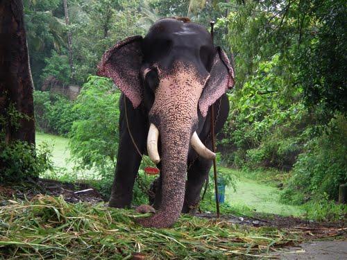 Kerala Tourism Punnathur elephant sanctuary (Punnathur ...